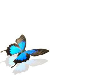 Papilio ulysses on white background