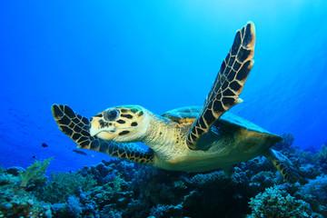 Sea Turtle (Hawksbill Turtle - Eretmochelys imbricata)