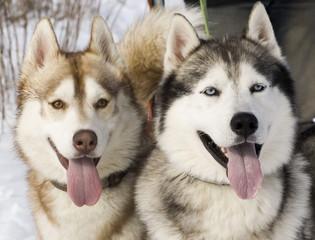 Two siberian husky