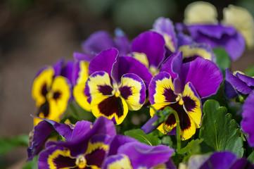 Papiers peints Pansies Violet Pansies