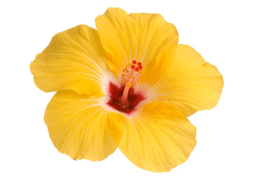 Yellow hibiscus isolated on white