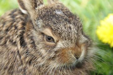 Little hare portrait
