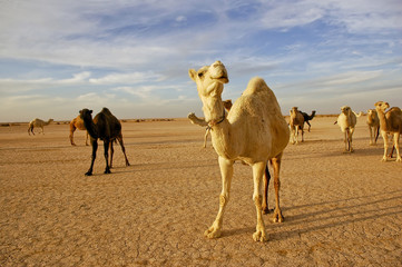 Herd of white and brown camels in the desert,