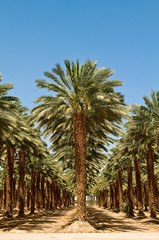 "Grove of Palm Trees in the desert near the ""Dead Sea"", Israel"