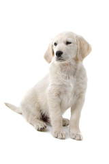 golden retriever puppy isolated on a white background