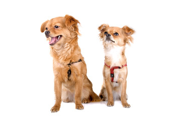 two chihuahua dogs on a white background