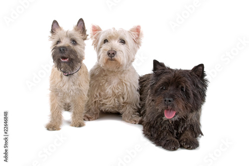 two West Highland White Terrier and a cairn terrier dog