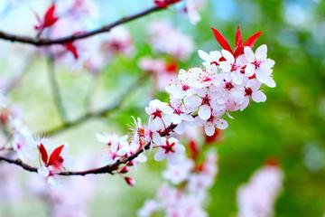 Cherry tree blossoms 2