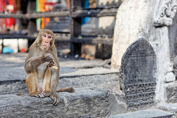 Funny eating monkey in Monkey temple, Kathmandu, nepal