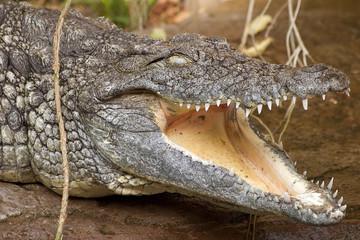 Poster Crocodile Nilkrokodil mit offenem Mund
