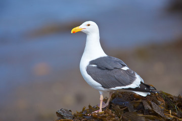 Seagull perched on kelp bed on the beach