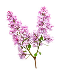 lilac isolated