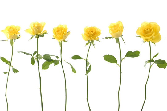 Set of sex long stem yellow rose