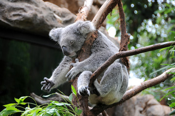 koala sleeps in a eucalyptus tree