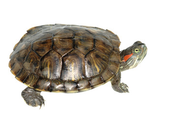 pet turtle red-eared slider(Trachemys scripta elegans)