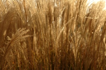 Golden spikes grass crop background  pattern