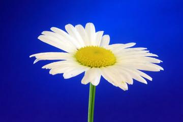 leucanthemum flower yellow single white head macro
