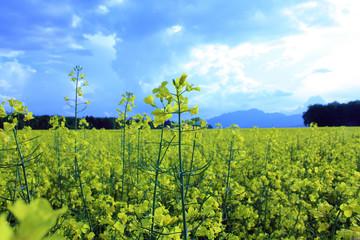 turnip rape field