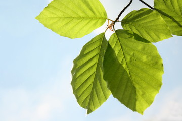 New green beech leaves in sunlight