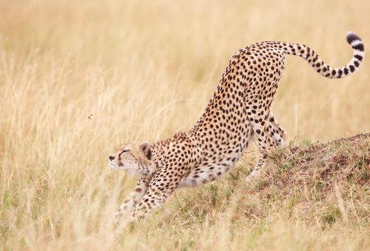 Cheetah (Acinonyx jubatus) in savannah