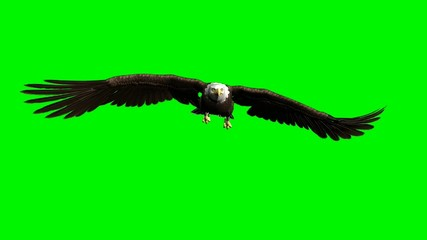 Fototapete - american bald eagle hunting flying chroma key green