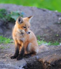 Kit Fox in the Wild