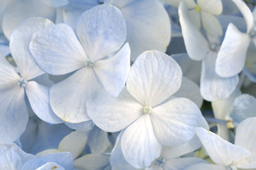 Close up Light blue hydrangea flower