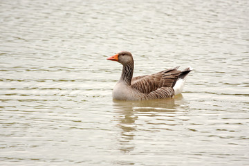 Greylag goose floating on lake