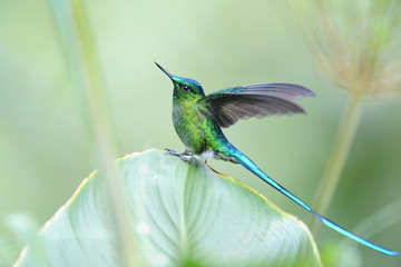 """""""Aglaiocercus coelistis"""", """"Violet-tailed Sylph"""""""