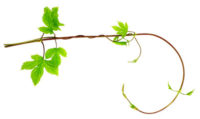 liana twig