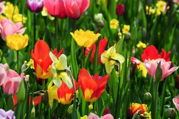 Aluminium Prints Tulip Blumen Welt