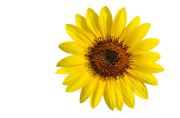 A splendid yellow sunflower isolated on white