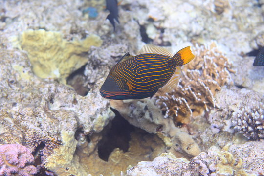 Orange-lined Triggerfish (Balistapus undulatus)