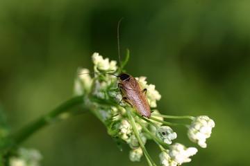 Gemeine Waldschabe (Ectobius lapponicus)