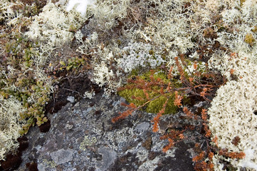 Moss and wild cowberry