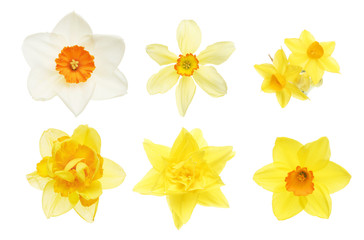 Collection of daffodil flowers