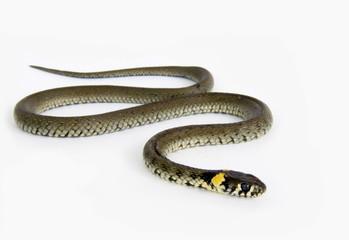 Natrix natrix snake on the white
