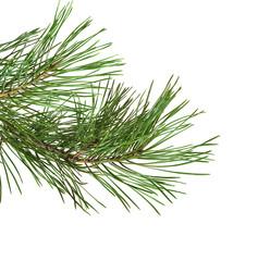 green pine twig
