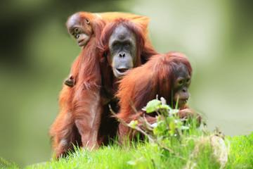 Orangutan Fotomurales