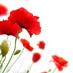 Canvas Prints Poppy poppies isolated on white background- border angle of page