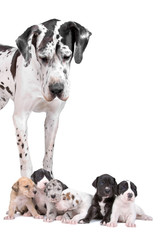 great dane dog looking at  the cute puppies