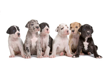 Obraz group of six great dane puppies isolated on white - fototapety do salonu