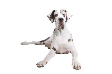 front view of a great dane dog lying on the floor