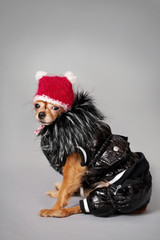 Toy Terrier in clothing
