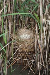 Coot ( Fulica atra ) nest with eggs