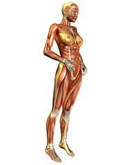 Wall Mural - Muskelverlauf Frau Seitlich