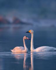 Poster Cygne Whooper Swan