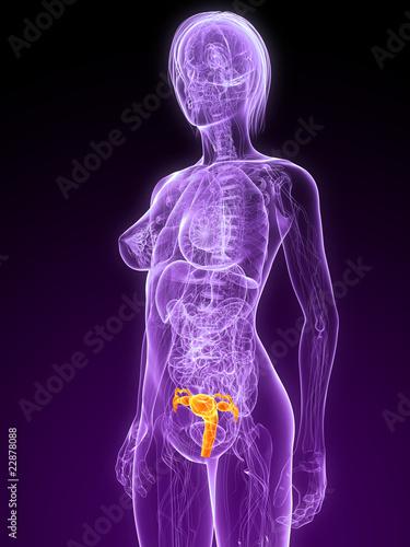 weibliche Anatomie mit markierter Gebärmutter\