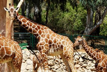 family of giraffe walking in the zoo