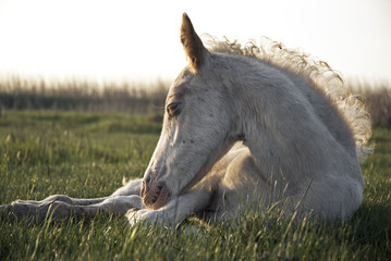 A beautiful white newborn foal
